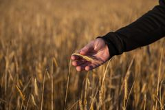 Main sur un champ de blé photos libres de droits