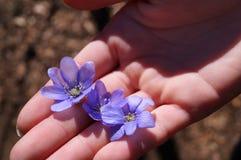 Main tenant des fleurs de violettes Photographie stock libre de droits