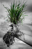 Main tenant l'écologie de buisson de fleur d'herbe verte Photo libre de droits