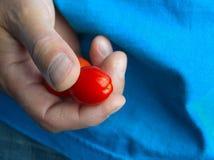 Main tenant la petite tomate image libre de droits