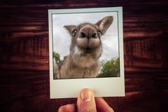 Main tenant la photographie du kangourou drôle photo libre de droits