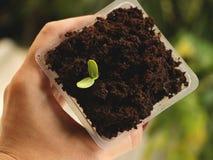 Main tenant la tasse en plastique carrée de la graine de tournesol s'élevant en café images libres de droits
