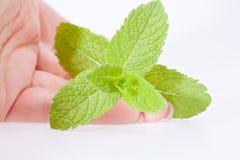 Main tenant les feuilles fraîches vertes de la menthe Photographie stock