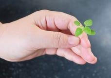 Main tenant une petite jeune usine verte Image libre de droits