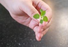 Main tenant une petite jeune usine verte Photo libre de droits