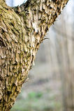 The main trunk of the tree with bark, branching. Texture of tree bark stock image