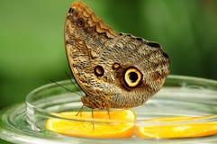Mainau fjärilsfrukost Arkivbild