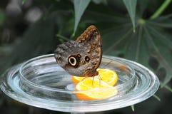 Mainau motyla śniadanie Obraz Royalty Free