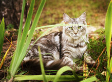 Maincoon gray cat lay on the autumn ground Stock Photos