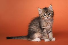 Maincoon Kitten With Big Eyes Royaltyfri Foto