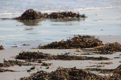 Maine Beach med havsväxt Royaltyfri Fotografi