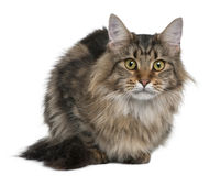 Maine coon, 1 year old Stock Photo