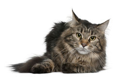 Maine coon, 1 year old Stock Photography