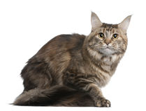 Maine coon, 1 year old Royalty Free Stock Photography