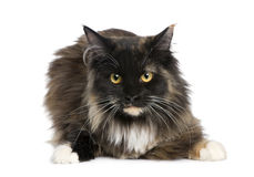 Maine Coon (11 months) Stock Photography