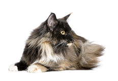 Maine Coon (11 months) Royalty Free Stock Image