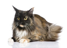 Maine Coon (11 months) Stock Photo