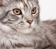 Maine-coon Royalty Free Stock Image