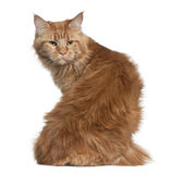Maine coon, 15 months old Royalty Free Stock Photo