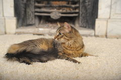 Maine Coon Royalty Free Stock Photography