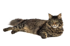 Maine coon 2 Royalty Free Stock Photo