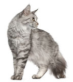 Maine Coon, 2 years old Royalty Free Stock Photos