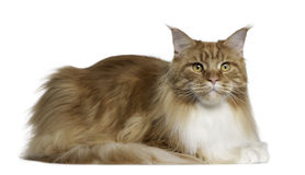 Maine Coon, 2 years old, lying Stock Photo