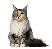 Maine Coon, 2 years old, sitting Royalty Free Stock Image