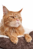 Maine coon Royalty Free Stock Image