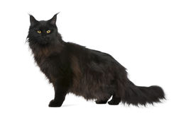 Maine coon, 21 months old Stock Photos