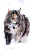 Maine Coon. Cat Main Coon walk in snow winter field Stock Photos