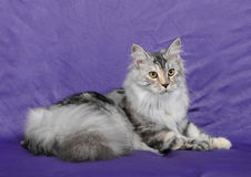 Maine Coon Stock Photos