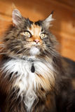 Maine Coon. Tricolor Maine Coon cat portrait Royalty Free Stock Photos