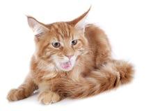 Επιθετικό γατάκι του Maine coon Στοκ φωτογραφίες με δικαίωμα ελεύθερης χρήσης