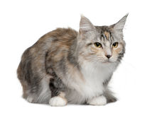 Maine coon, 4 years old Stock Images