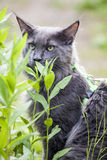 Maine Coon Photo libre de droits