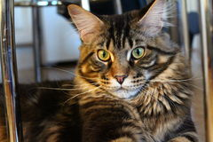 Maine Coon Photo stock