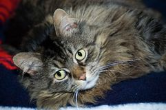 Maine Coon. Close up of the face of a Maine Coon cat lounging Royalty Free Stock Photo