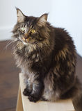 Maine Coon Royalty-vrije Stock Afbeelding