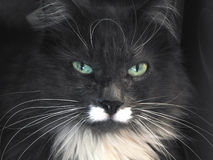 Maine Coon. Portrait of Maine Coon breed of cat royalty free stock photography