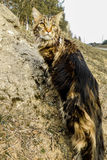 Maine Coon Stockfoto