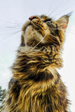 Maine Coon Photographie stock