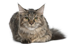 Maine Coon, 8 months old, lying Stock Images