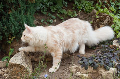 Maine Coon Royalty Free Stock Images