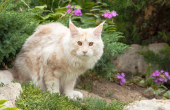 Maine Coon, American Longhair Royalty Free Stock Photo