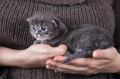 Maine coon baby kitten Royalty Free Stock Photo