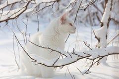 Maine Coon biały kot w dzikim śniegu Zdjęcia Royalty Free