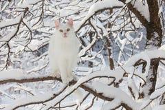 Maine Coon biały kot w dzikim śniegu Zdjęcia Stock