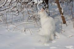Maine Coon biały kot w dzikim śniegu Fotografia Royalty Free