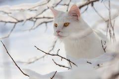 Maine Coon biały kot w dzikim śniegu Zdjęcie Stock